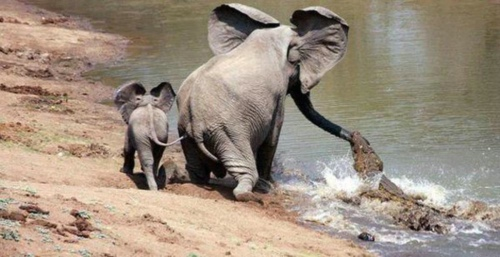 鳄鱼在攻击时,小象一直围绕在母象身边。