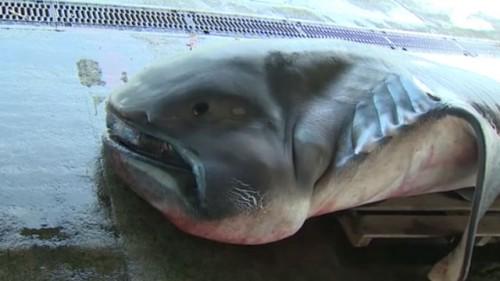 罕见的深海大嘴鲨鱼,长五米