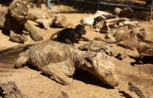 许多动物过去几年因战火、饥饿和疾病而死去
