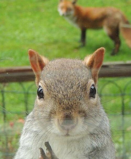 一只小松鼠为躲避狐狸的追踪,敲击玻璃窗求助,表情呆萌,十分可爱.