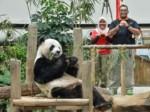 旅居大熊猫拜年 海外熊猫集体卖萌拜年-热点