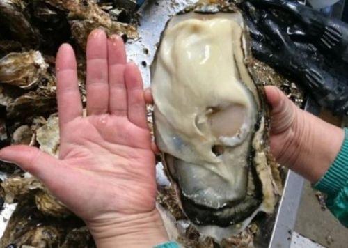福岛惊现巨型生蚝 是否收到辐射影响未知