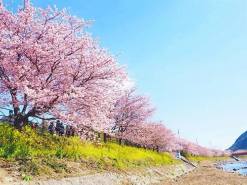 日本早春樱花盛开 8万株樱花树构成绝美风景