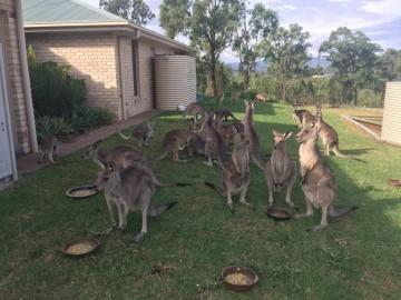 澳将消灭百万袋鼠 清理行动引发民众争议-热点