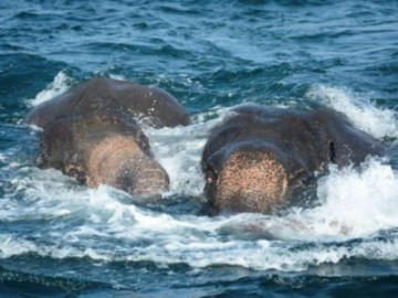 两大象海水中获救 动用九牛二虎之力救援-热点