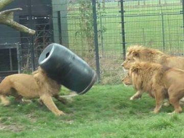 狮子脑袋被卡圆桶 惊慌失措挣扎不休-热点