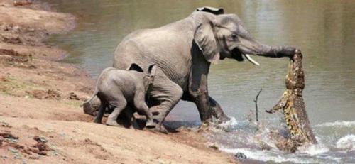 大象被鳄鱼咬住鼻子 小象舍身救母
